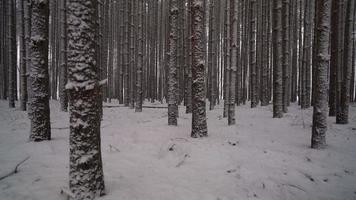 bella scena invernale che si muove attraverso la foresta di alti pini mentre cade la neve