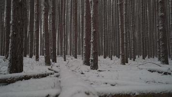 Winterwaldkranich schoss, als Schnee zwischen den hohen Kiefern fällt
