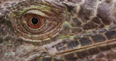 primo piano dell'occhio dell'iguana video