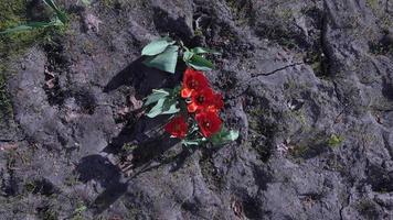 varios tulipanes rojos en tierra firme video