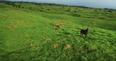 vista aérea voando sobre cavalos em belas paisagens verdes video