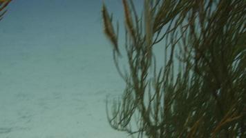 peixe camarão (navalha) video