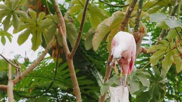 Exotic pink bird curiously looking into the camera. Roseate Spoonbill