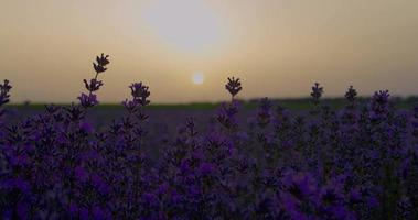 schöne Sonnenuntergangszeitraffer über einem Lavendelfeld.