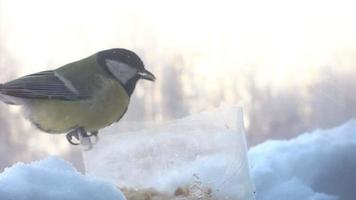 Titmouse eating from the bird feeders in winter. 4K video