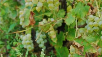 Bunches of ripe white grapes. Vineyard near Lake Ontario, United States. ProRes HQ 422 10 bit video
