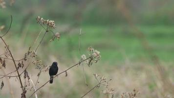 uccello pied bushchat che riposa e vola nel campo