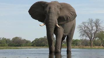 um elefante macho bebendo no rio, botswana video