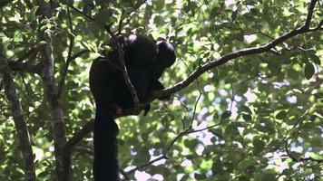 scimmia barbuta nella foresta. video