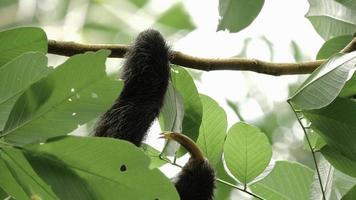 preguiça de três dedos macho subindo em árvore 4 video