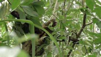 preguiça de três dedos macho subindo em árvore 5 video