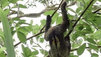 preguiça de três dedos macho subindo em árvore 1 video