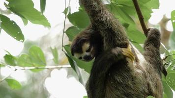 Male three-toed sloth scratching video