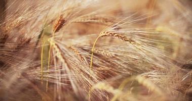 Tallo de trigo en un campo de maíz saludable en una granja