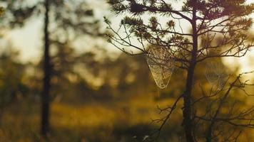Telarañas en pinos con rocío matutino durante un amanecer en marismas