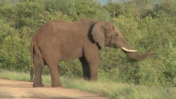 elefante pastando no mato