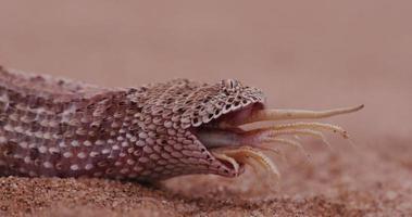 4k tiro de sidewinder / víbora de peringuey comendo um lagarto focinho de pá video