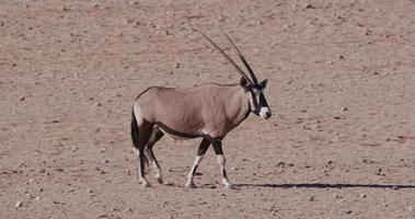 4k gemsbok / oryx caminhando pelas planícies áridas do deserto do namibe video