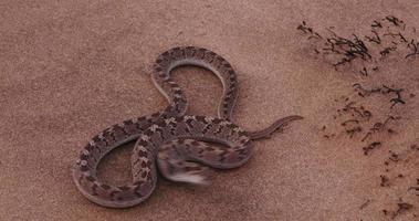 4k Ei fressende Schlange in defensiver Haltung und Schlag in die Kamera