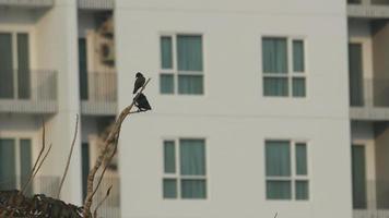 dois pássaros myna comuns estão descansando em um galho de árvore video