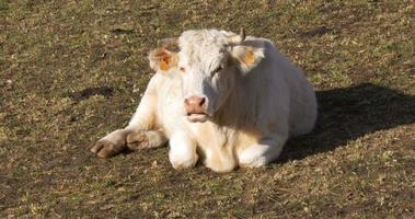 vall de nuria mucca di montagna sul campo si chiuda 4K