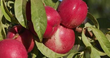 monte de nectarinas vermelhas crescendo em uma árvore frutífera video