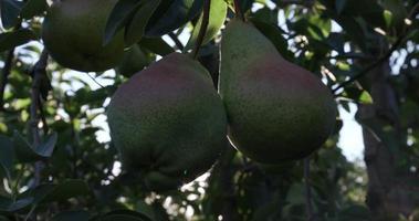ramo de peras crescendo em uma árvore frutífera video