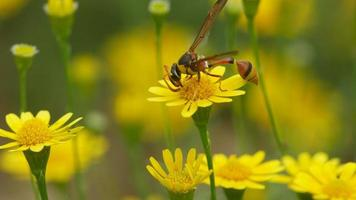 vespa de oleiro coleta néctar da flor margarida dahlberg video