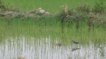 pássaro maçarico comum no campo de arroz video
