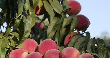 Bündel reifer Pfirsiche, die auf einem Obstbaum wachsen