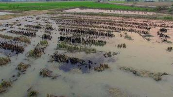 Aerial of muddy rice field video
