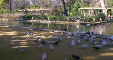 siviglia parco principale stagno uccelli 4k spagna video