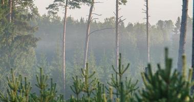 lasso di tempo di nebbia che scorre attraverso la foresta di pini video