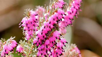 brughiera rosa da vicino con gli insetti