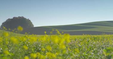 paesaggio di colza oleosa (4k)