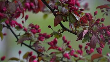 Zweig mit rosa Blüten, die sich sanft im Wind bewegen