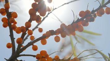 grappoli di olivello spinoso in un sole in un giardino