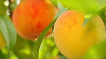 melocotones amarillos y naranjas que crecen en el árbol