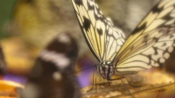 linda borboleta comendo