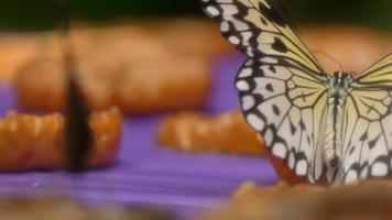 borboleta de árvore branca comendo frutas