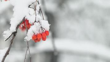 The bunch of a rowan covered a snow in a winter forest