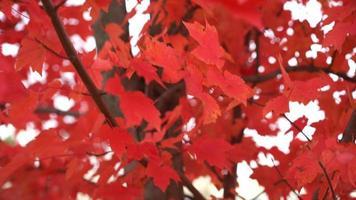 câmera se movendo em direção a uma árvore repleta de folhas vermelhas brilhantes no outono
