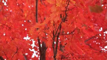 Hermosas hojas de color rojo brillante en el árbol en otoño, cámara bajando video