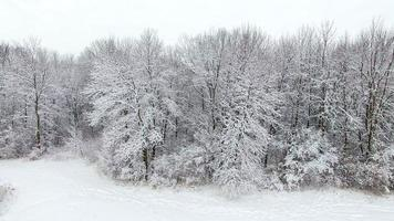 Beautiful forest trees frosted in fresh blizzard snow video