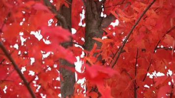 hermoso árbol rojo brillante en otoño pan arriba video