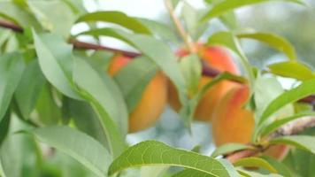 süße Pfirsiche auf grünem Zweig
