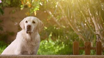 Esperando perro labrador senior en el jardín