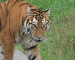 tigre siberiana in agguato