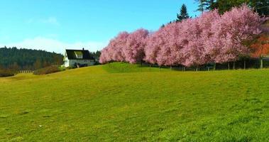 ländliches Bauernhaus und von grünen Feldern gesäumte Bäume und rosa Kirschblüten, Frühling