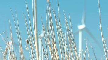 Windmills turning with corn in foreground